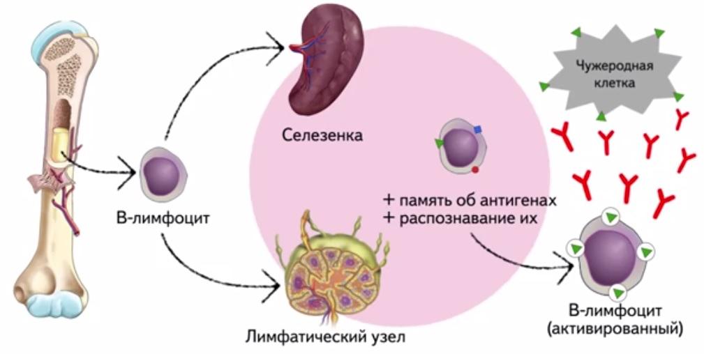 00859_atminas_B_limfociti