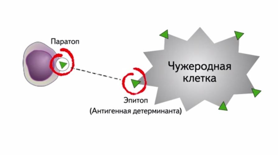 00859_paratops_epitops